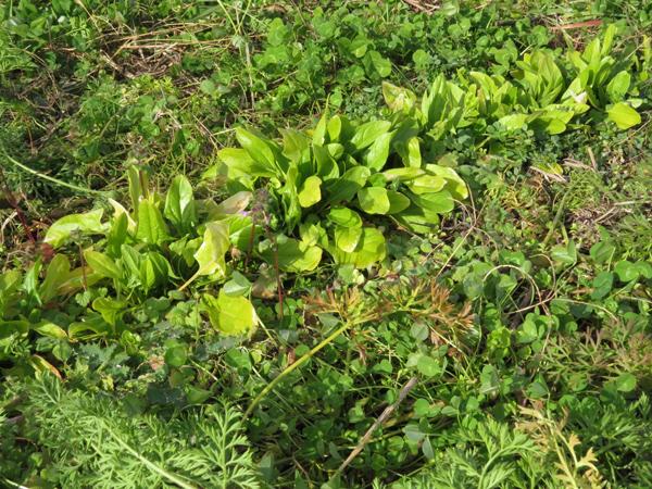 雑草の中で、ホウレンソウが育っています。