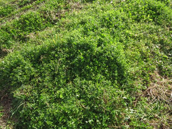 野菜の育っていない畝には、雑草達の緑の絨毯。