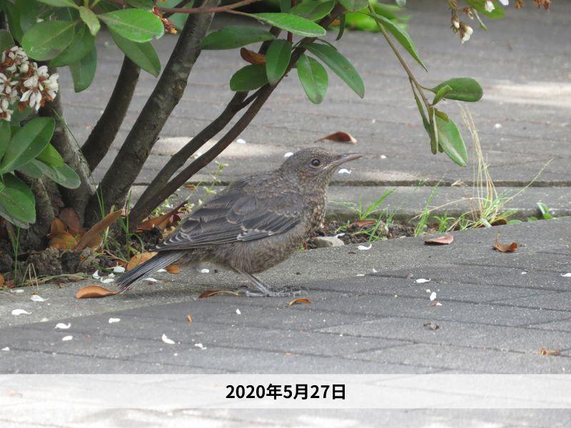イソヒヨドリ、カワラヒワ【2020年5月27日】