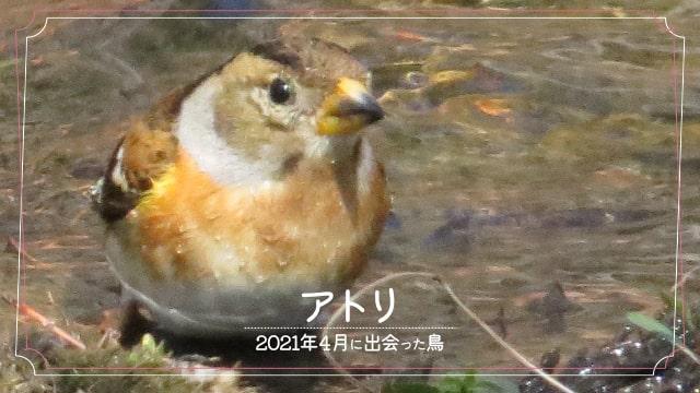 2021年4月に会えた鳥「アトリ」の写真