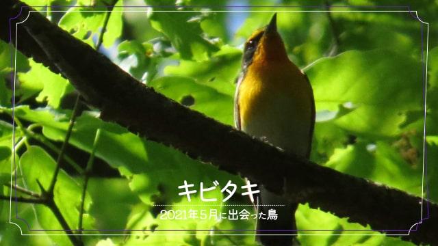 2021年5月に会えた鳥キビタキの写真