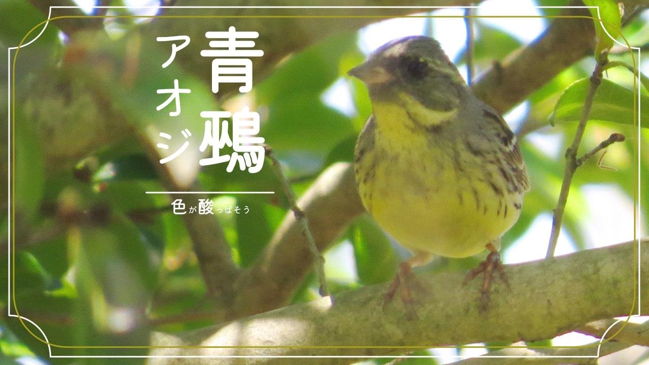 アオジってどんな鳥?生態や特徴などを簡単まとめ!