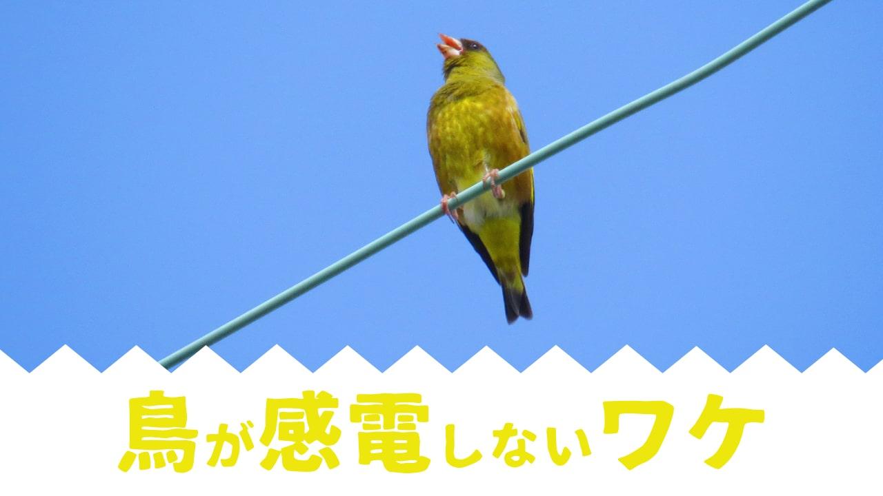 鳥が感電しないワケ?専門用語を使わず簡単に解説!