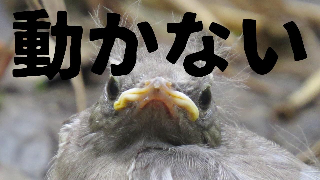 鳥が道端で動かなかったらどうすればいいの?