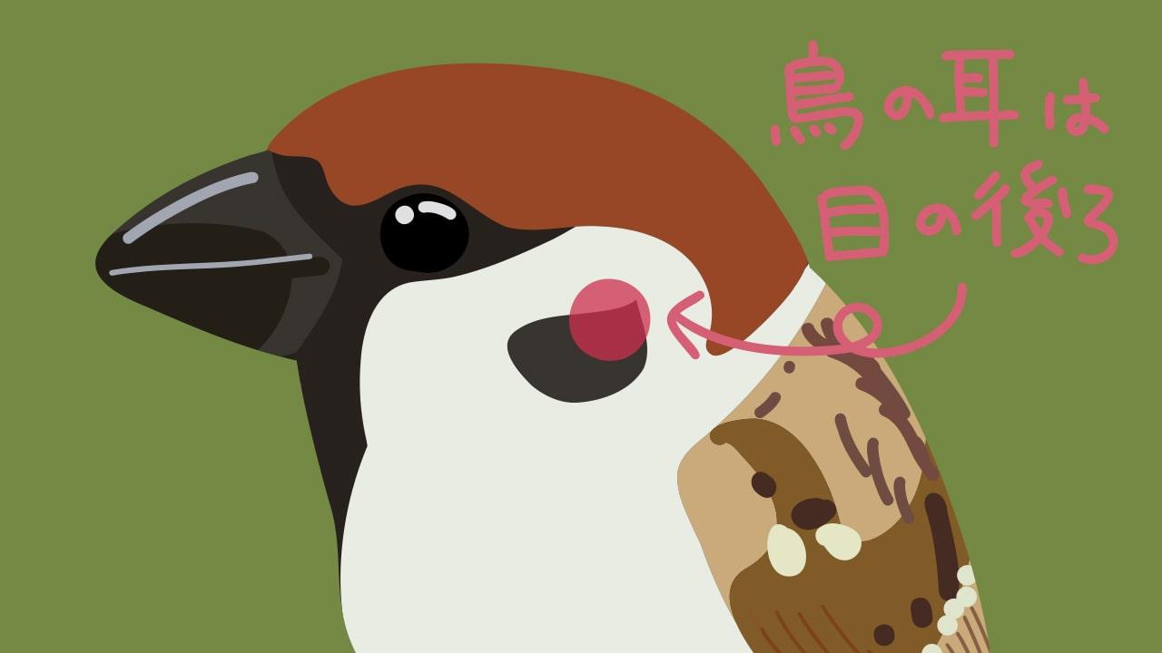 鳥の耳の位置を伝えるイラスト