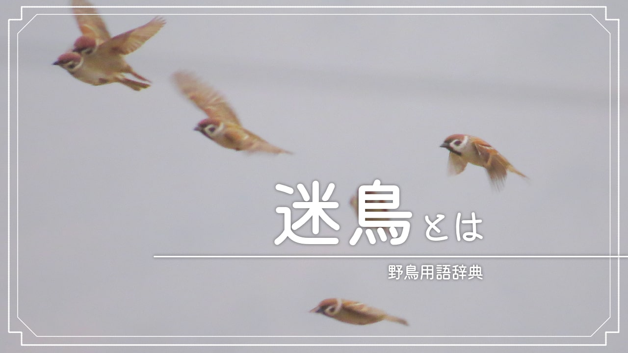 迷鳥(まよいどり、めいちょう)とは
