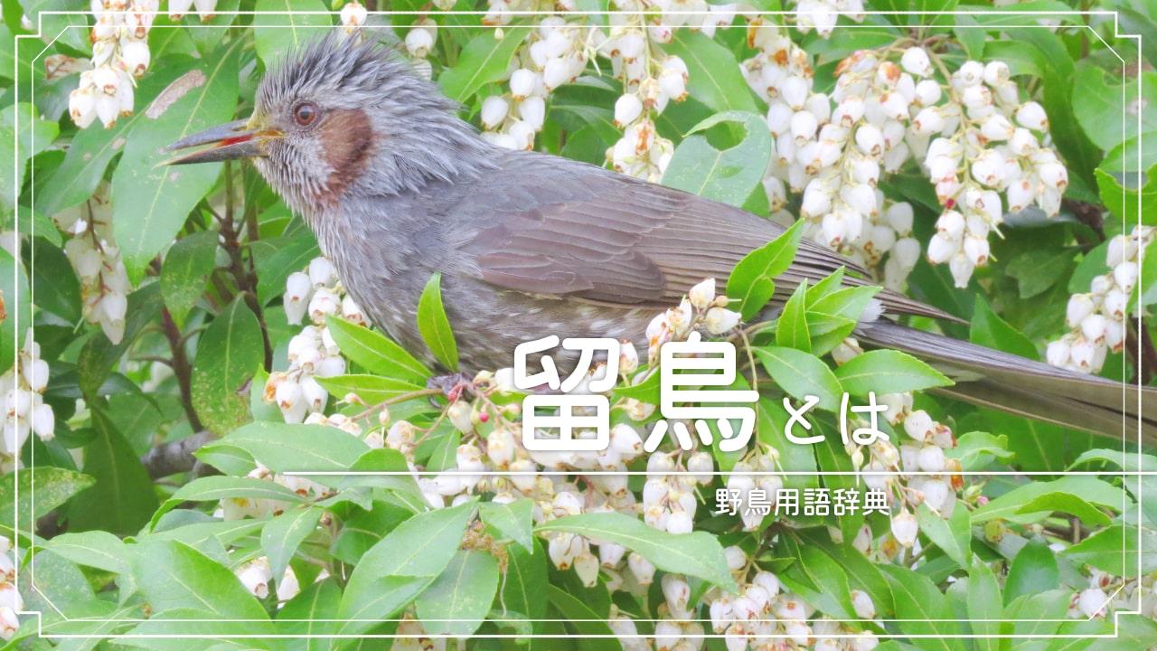 留鳥(りゅうちょう)とは