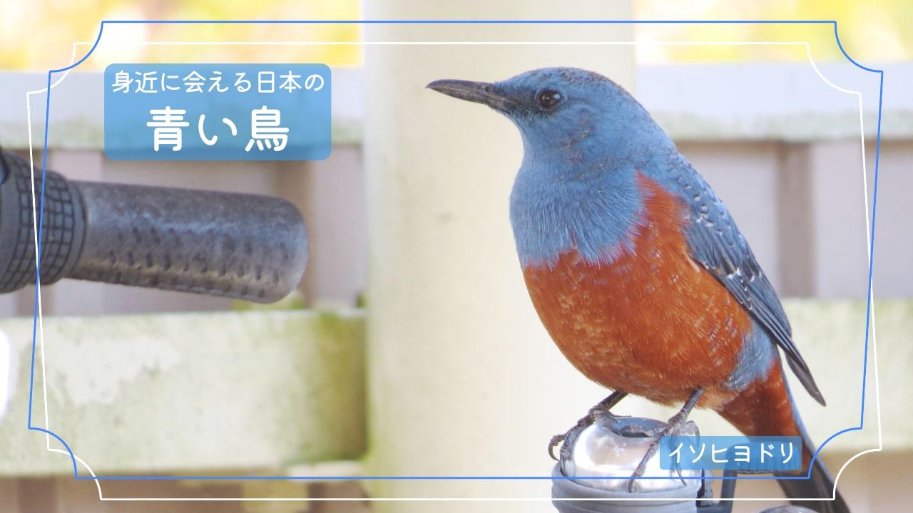 意外と近くにいる青色の鳥「イソヒヨドリ」の写真