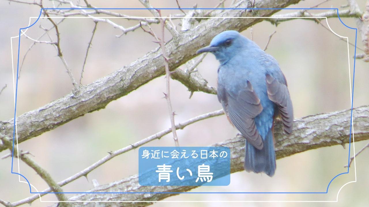 青色の鳥は意外と近くにいる!?青色の鳥5種類を写真で紹介!!