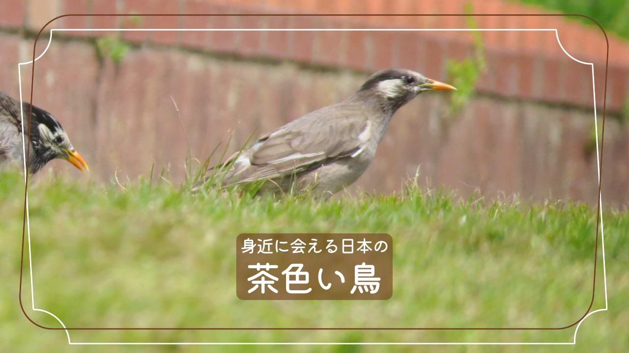 茶色い鳥11種類を写真で紹介!散歩中に会った事ないですか?