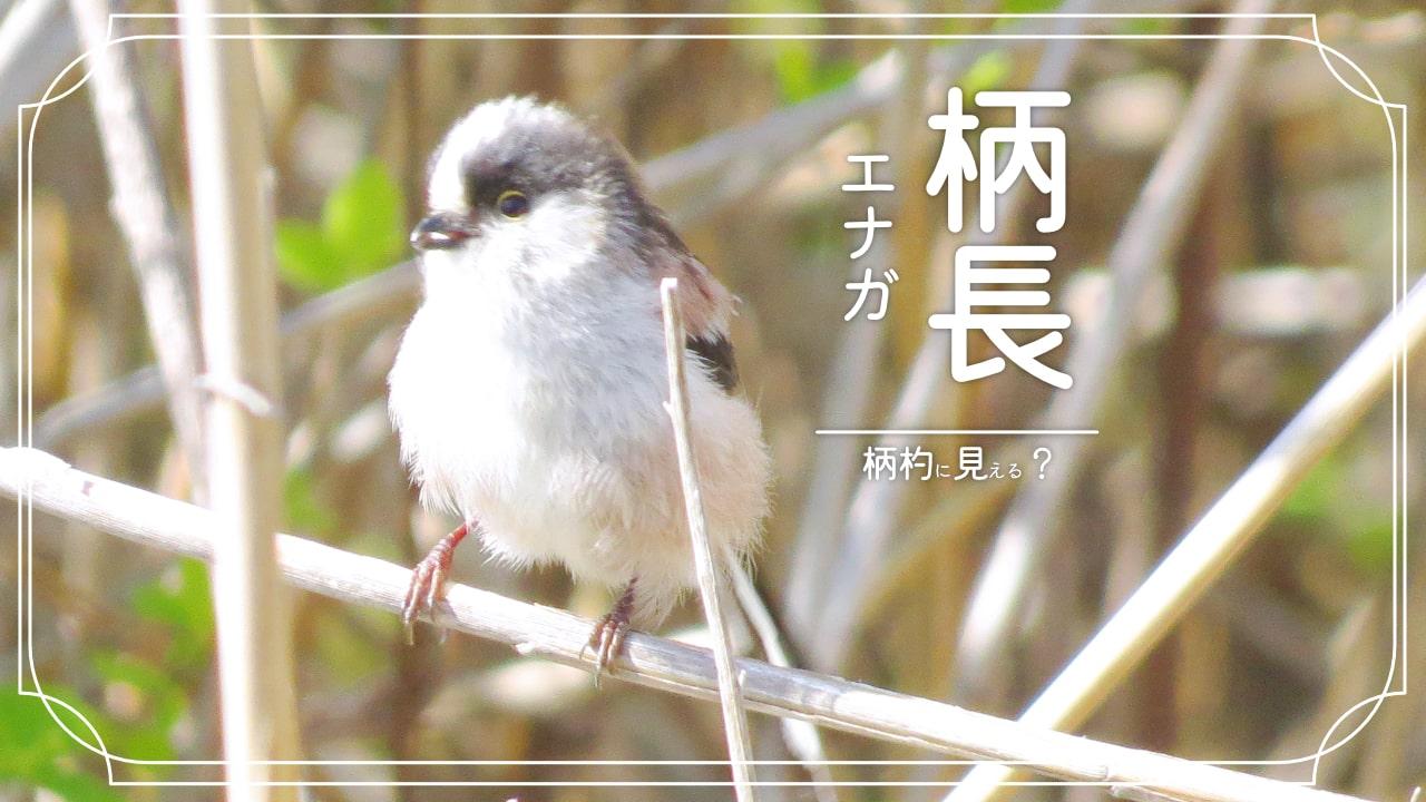エナガってどんな鳥?尾羽の長いかわいい小鳥!