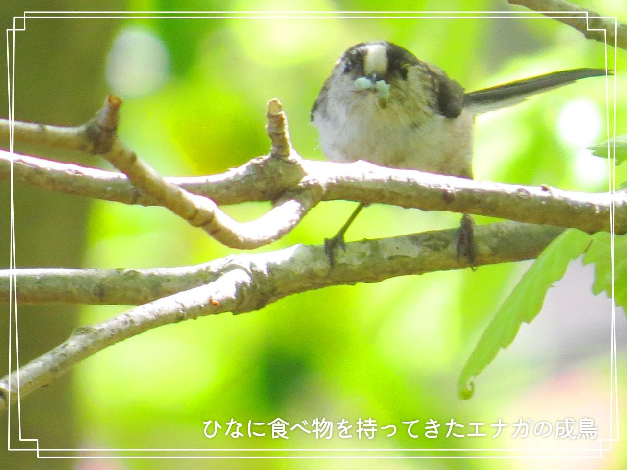 食べ物をくわえたエナガの親鳥の写真
