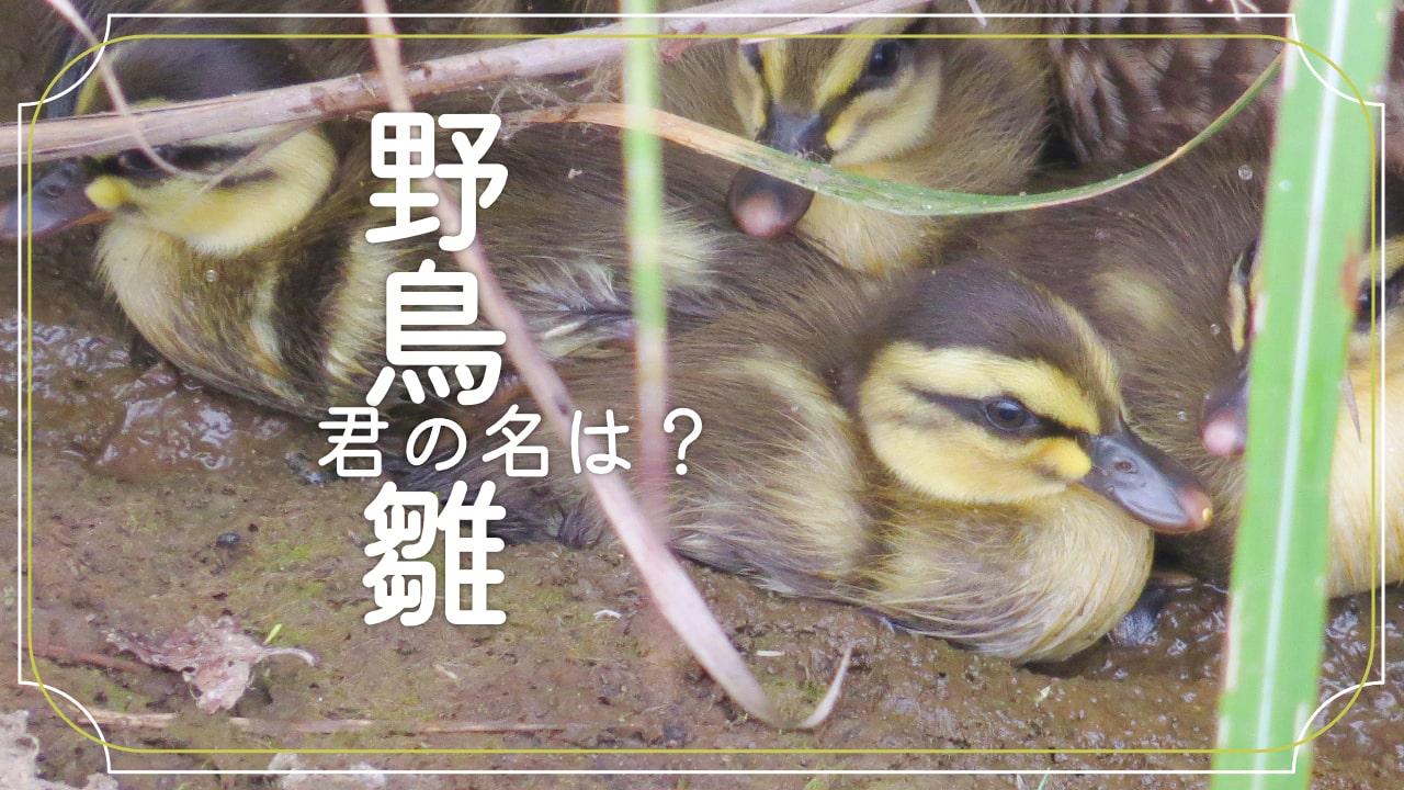 野鳥の雛の種類を調べる