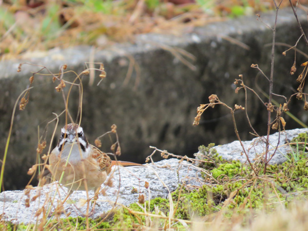 ホオジロ♂の写真