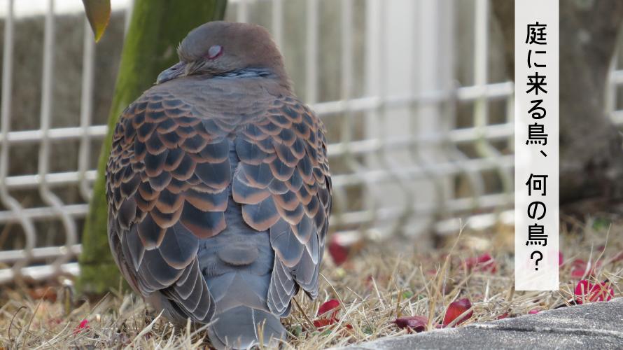 駅前の鳩とは違う庭に来る鳩