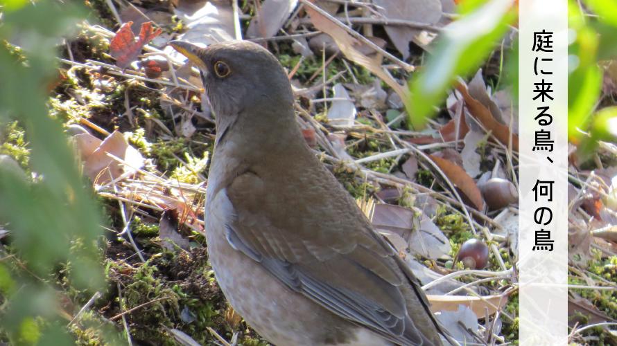 シロハラー動物画家が出会った野鳥【庭に来る鳥】