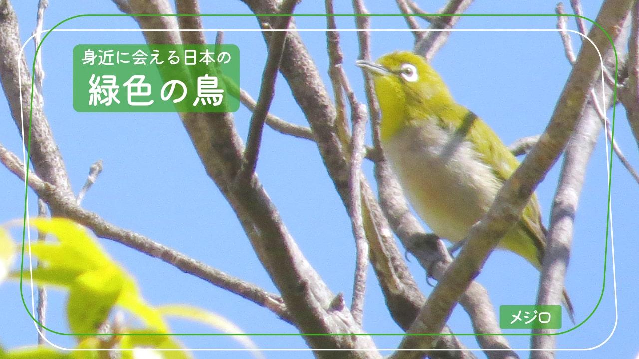 日本で会える緑色の鳥「メジロ」の写真