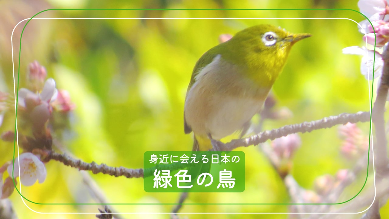 日本で会える緑色の鳥たち5種類+2種類を写真付きで紹介!