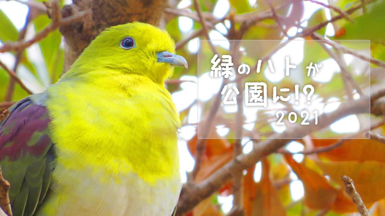 緑の鳩が公園に!?536枚撮った写真から厳選して紹介!!