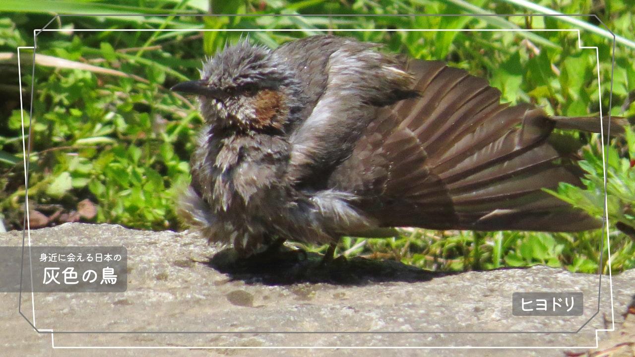 日本でよく会える灰色の鳥ヒヨドリの写真