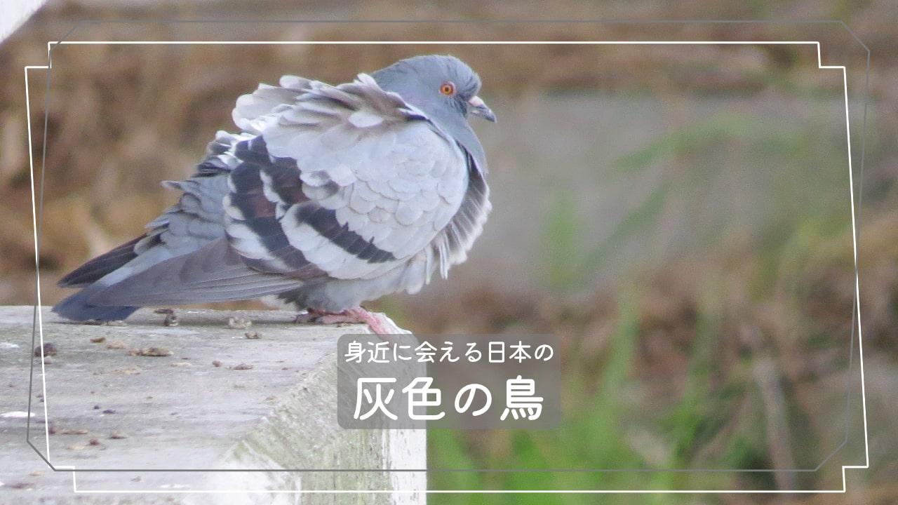 日本でよく会える灰色の鳥7種類を写真で紹介!