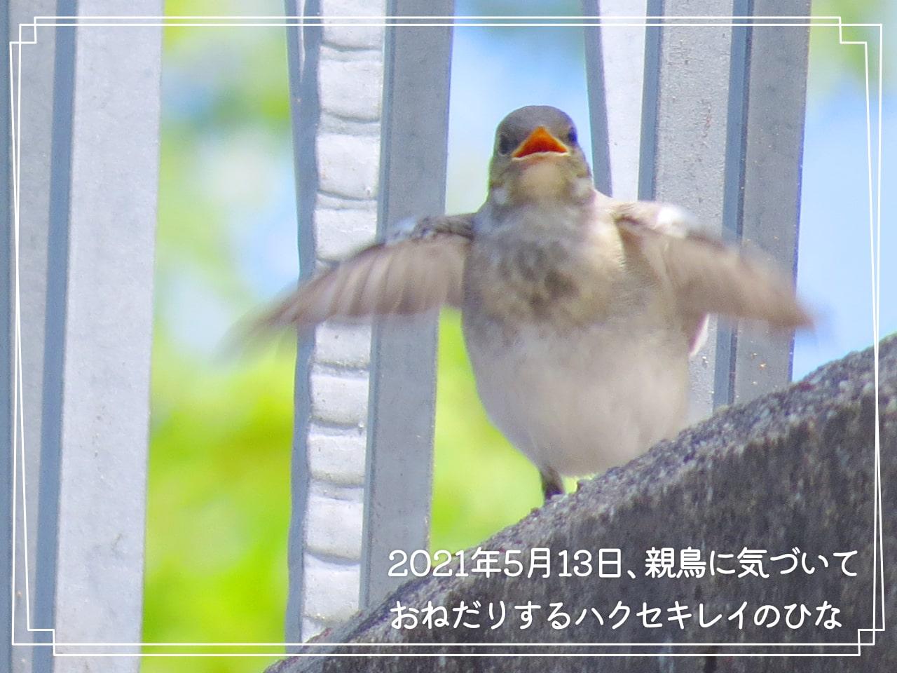 2021年5月13日、羽をばたつかせるハクセキレイのひなの写真