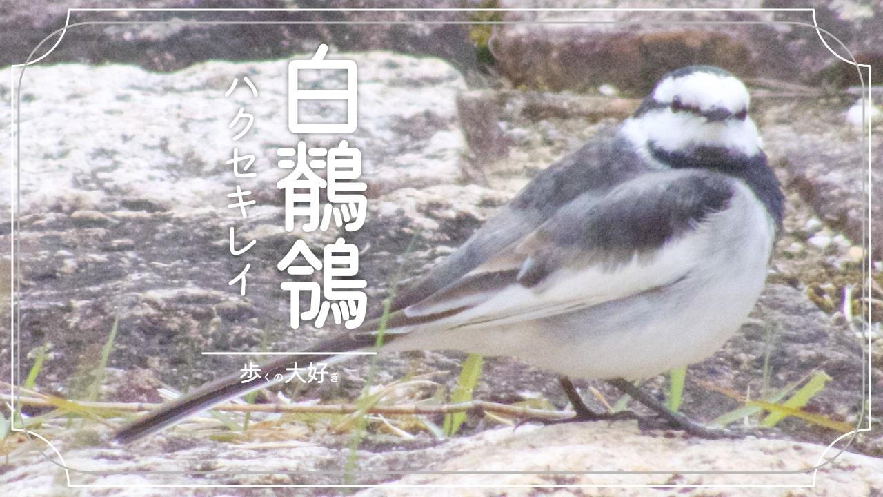 トコトコ歩くハクセキレイってどんな鳥?