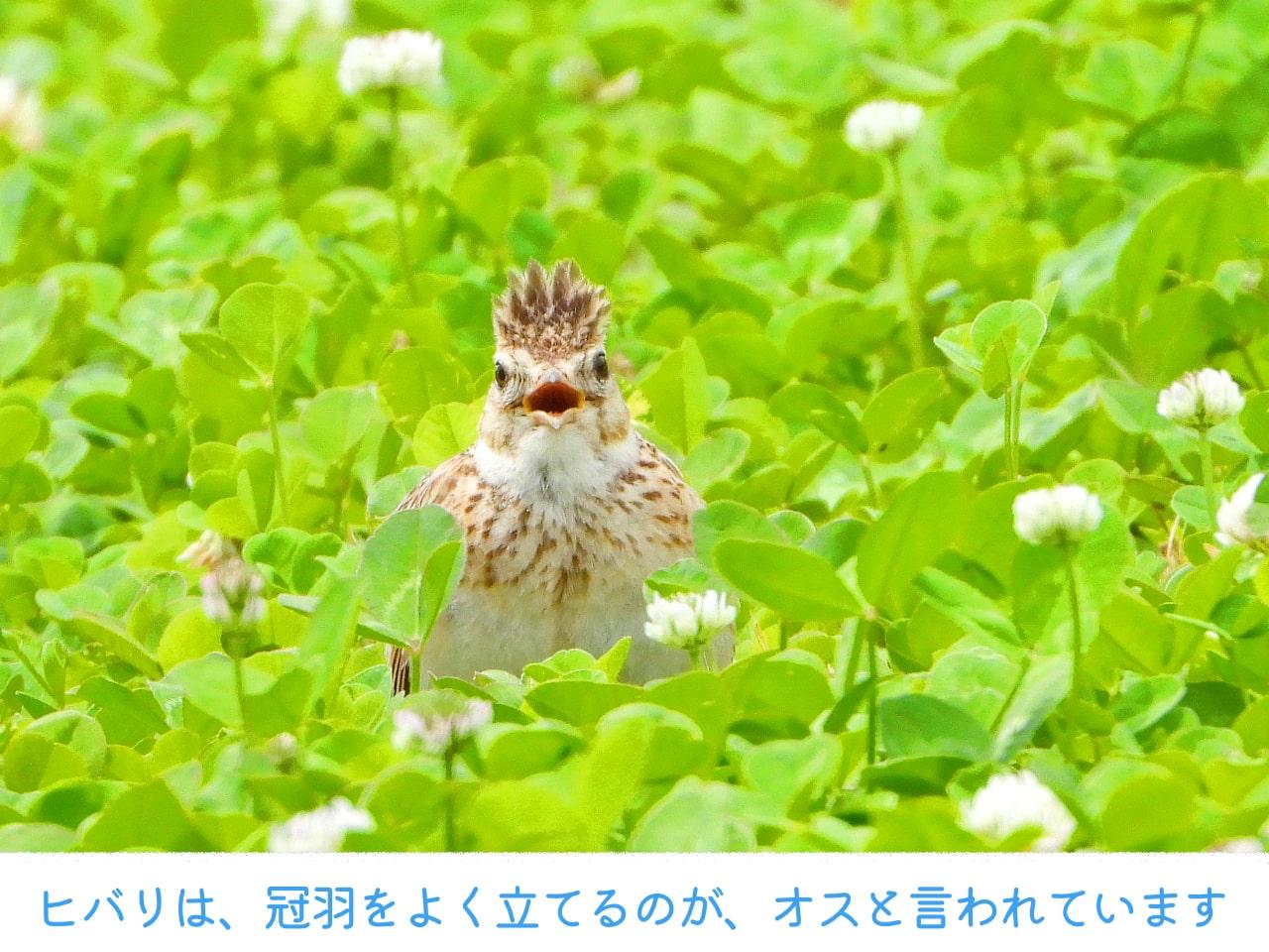 草地でさえずるヒバリの画像