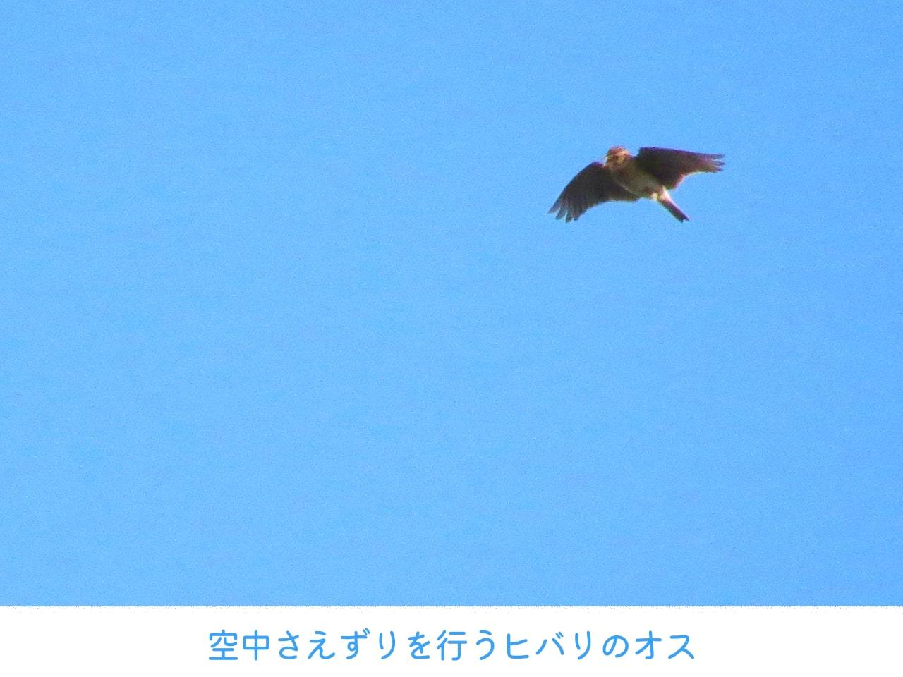 空中でさえずりを行うヒバリの写真