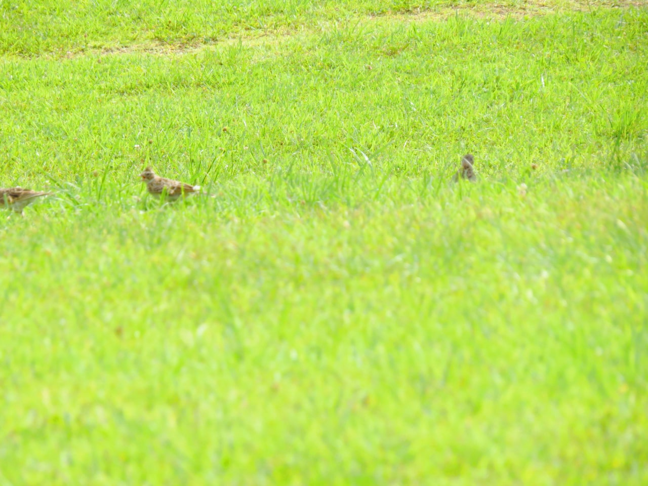 夏の公園にいたヒバリ3羽