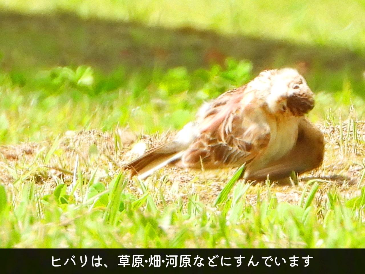 羽繕いするヒバリの写真