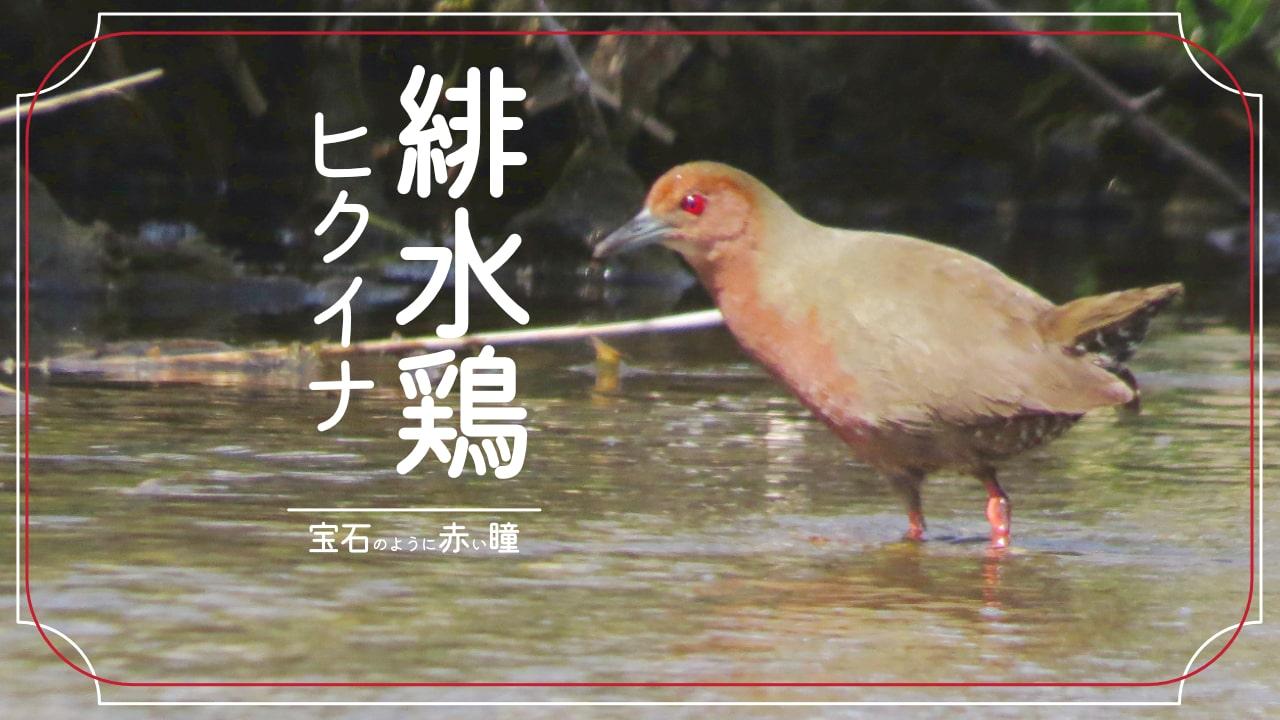ヒクイナってどんな鳥?鳴き声、生態などを簡単に解説!