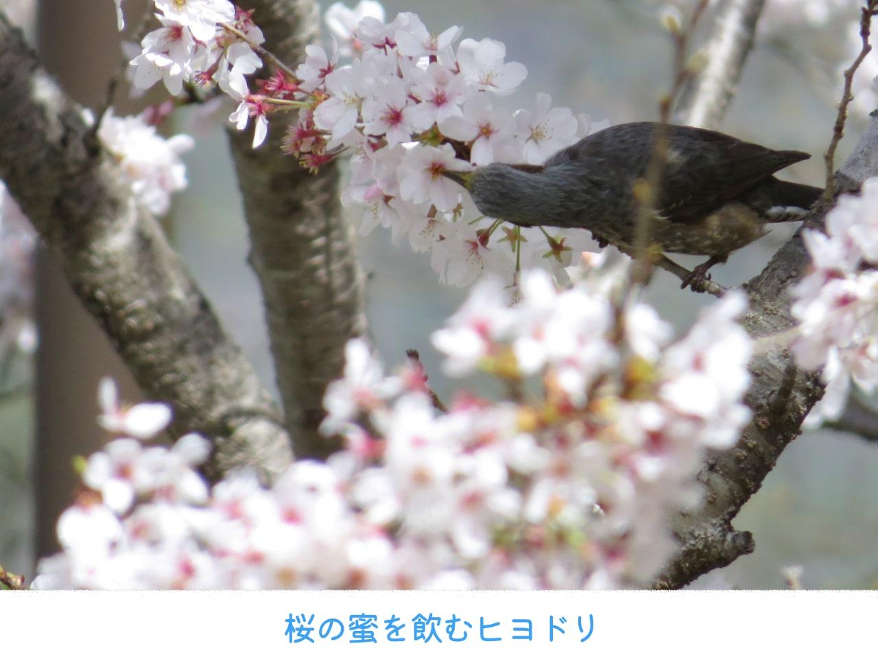 桜の蜜を飲むヒヨドリの画像