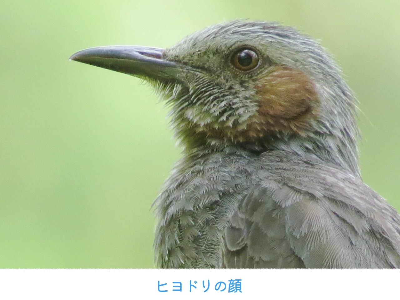 ヒヨドリの顔のアップ画像