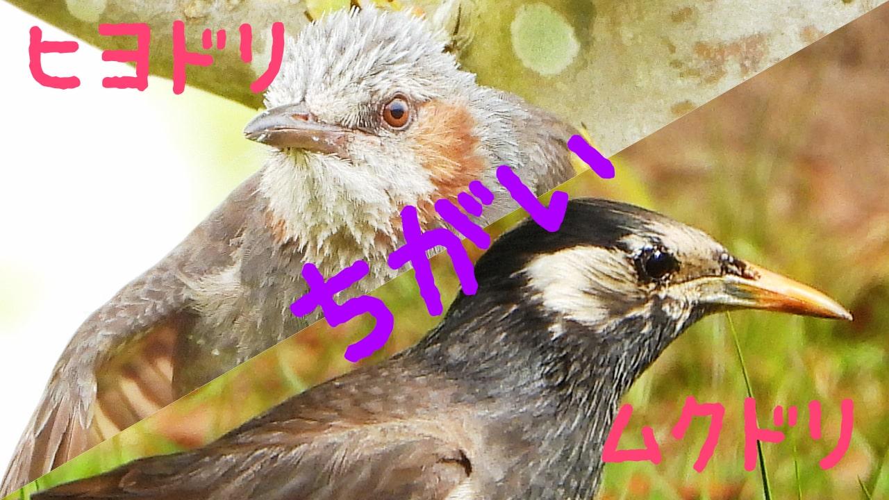 ヒヨドリとムクドリの違いを写真を見ながら解説!もう間違えない!