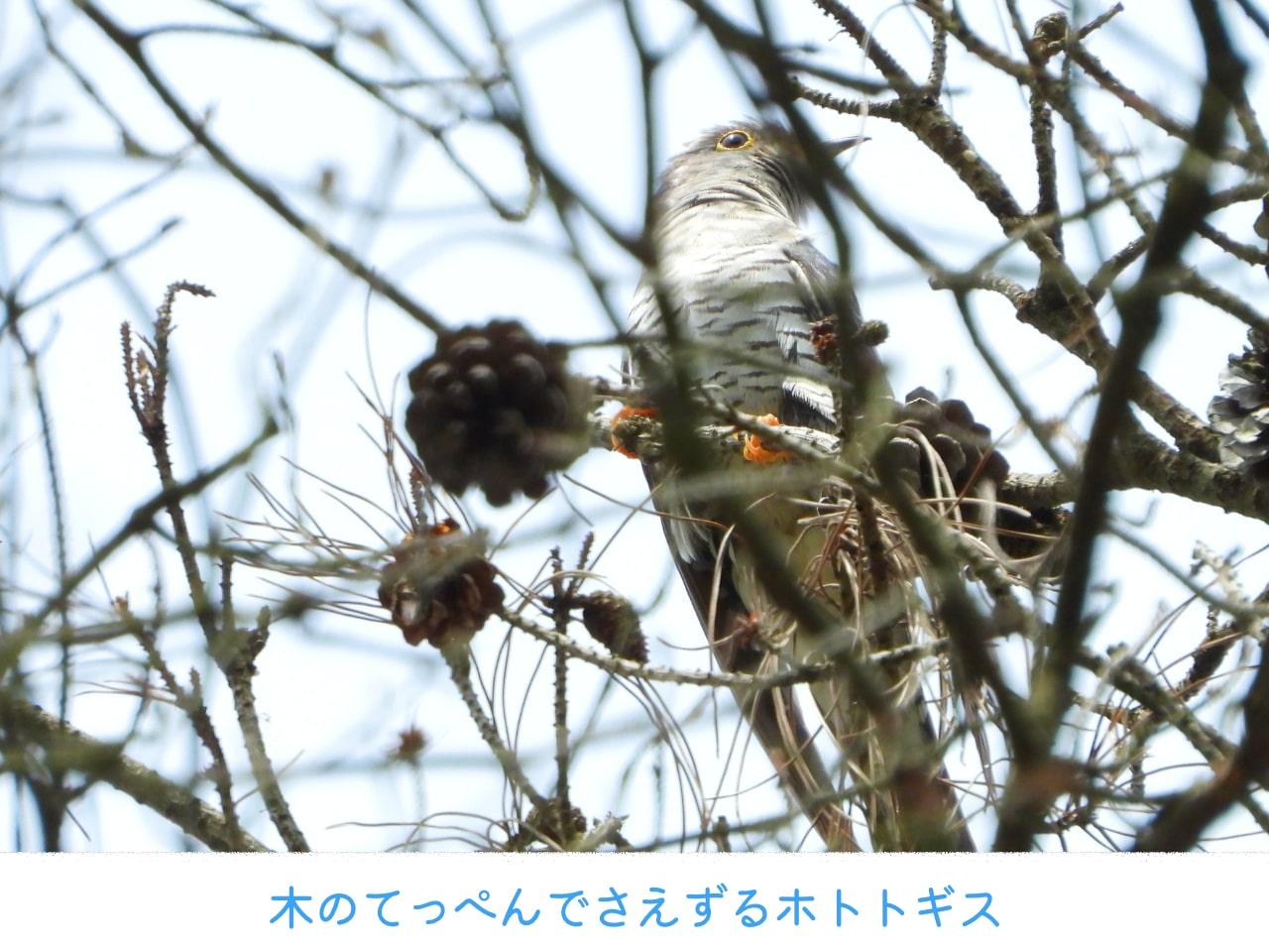 枝からのぞくホトトギス