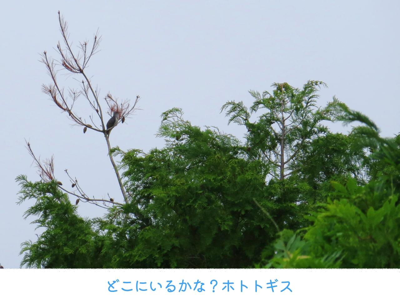 遠くの木の上にいるホトトギス