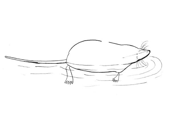 カワネズミの描き方ーちょっと直しました。完成。