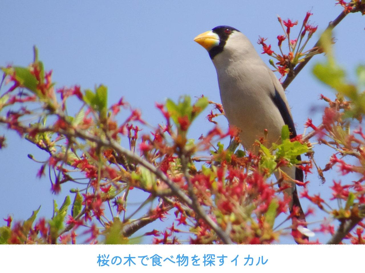 桜の木で食べ物を探すイカルの画像