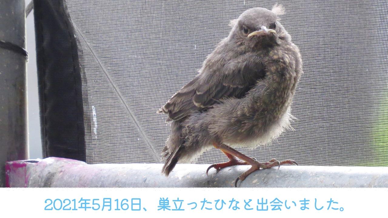 2021年5月16日に出会ったイソヒヨドリの巣立ちひなの写真