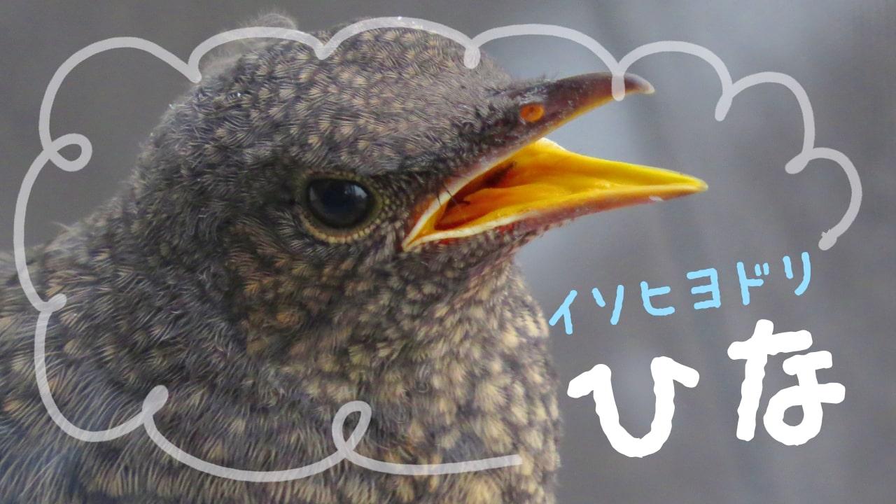 イソヒヨドリの巣立ちひなの成長写真