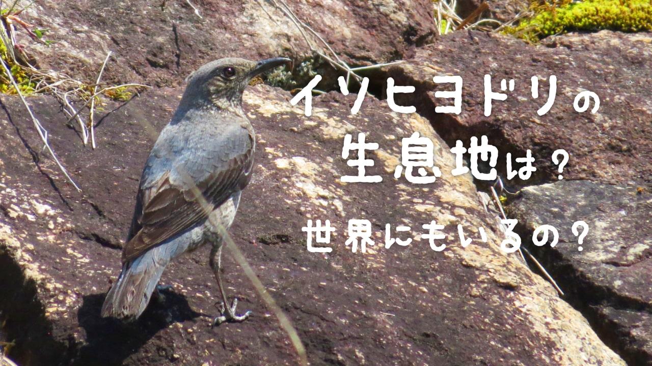 イソヒヨドリの生息地はどこ?世界にいるの?日本は?