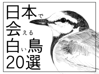 日本で会える白い鳥20選