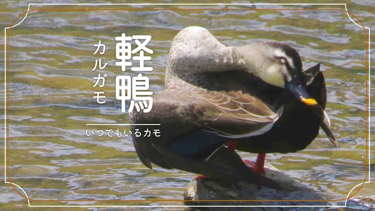 カルガモのかわいい生態〜観察写真•親子写真と一緒に紹介!