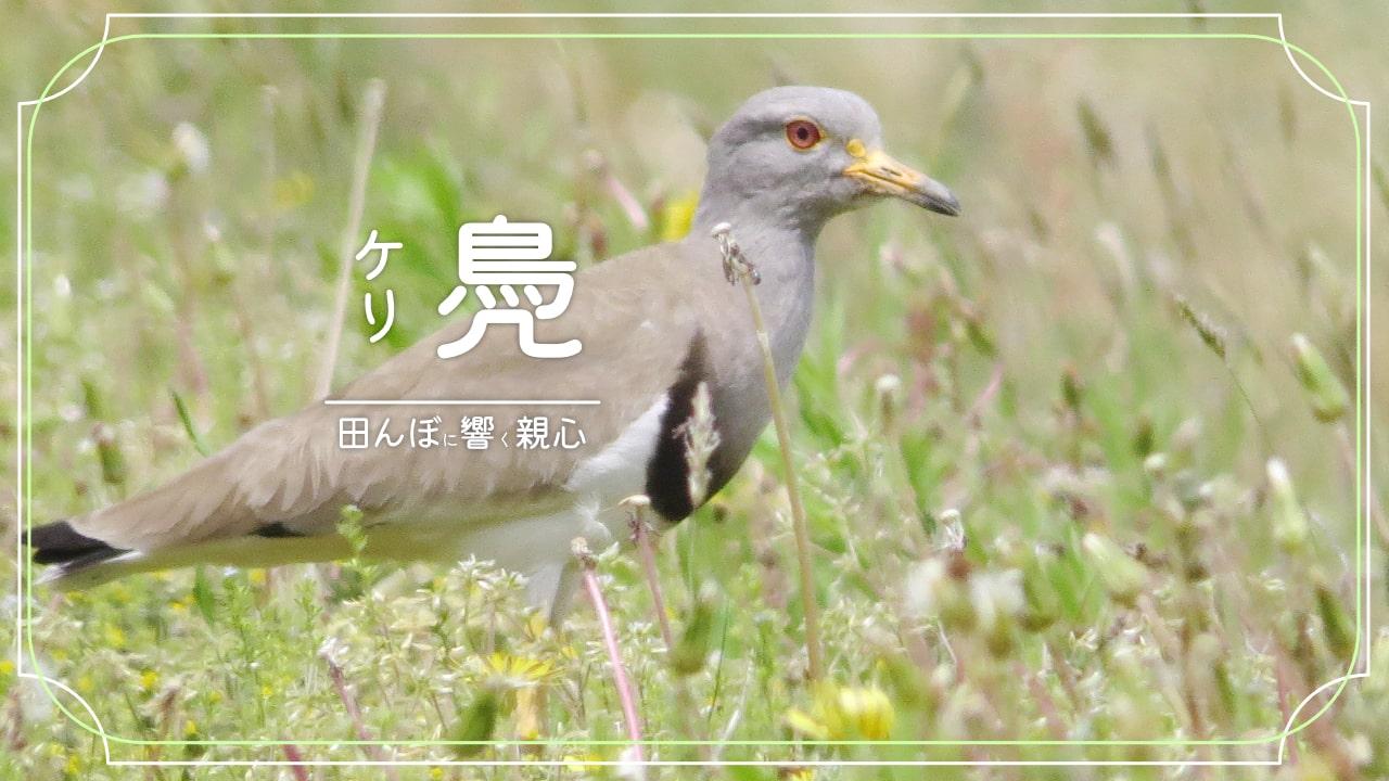ケリってどんな鳥?田んぼで見かける賑やかな鳥!