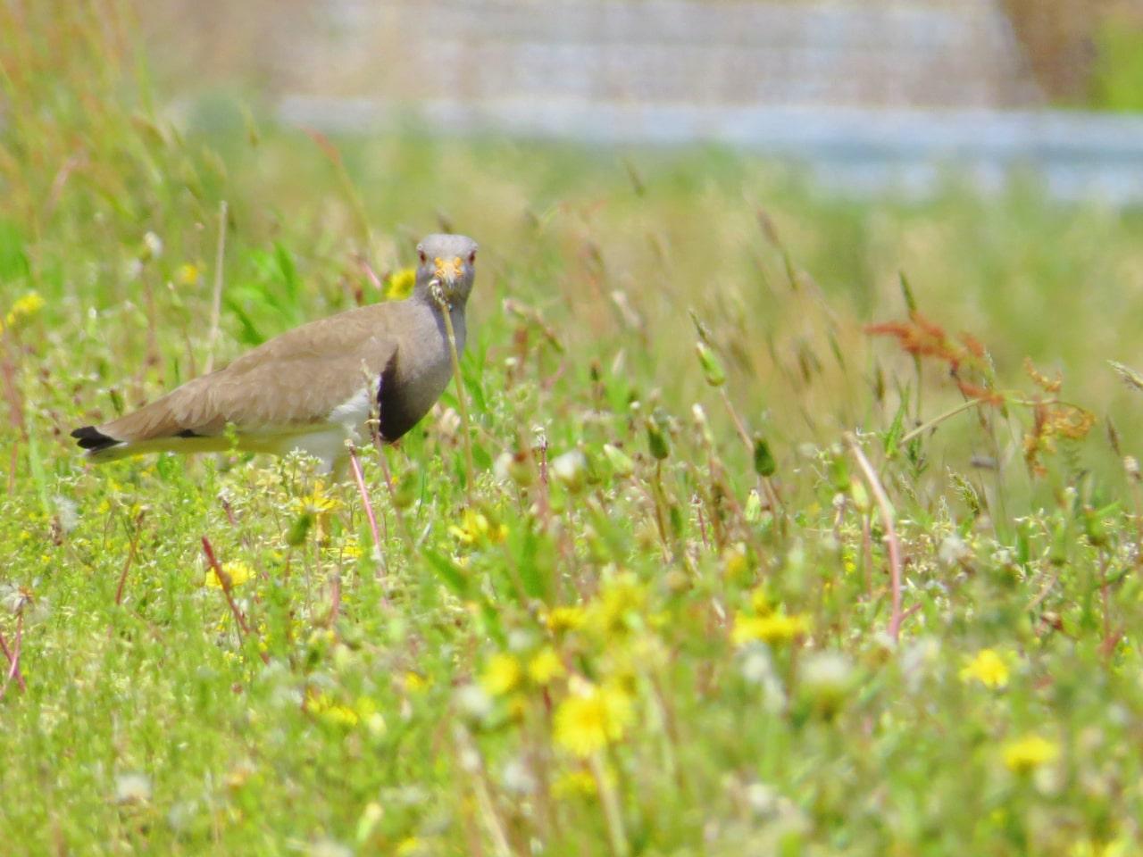 畦道で見張るケリの成鳥の画像