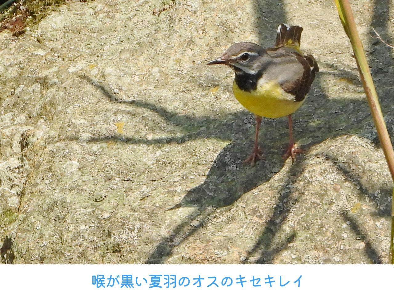 夏羽のオスのキセキレイの画像