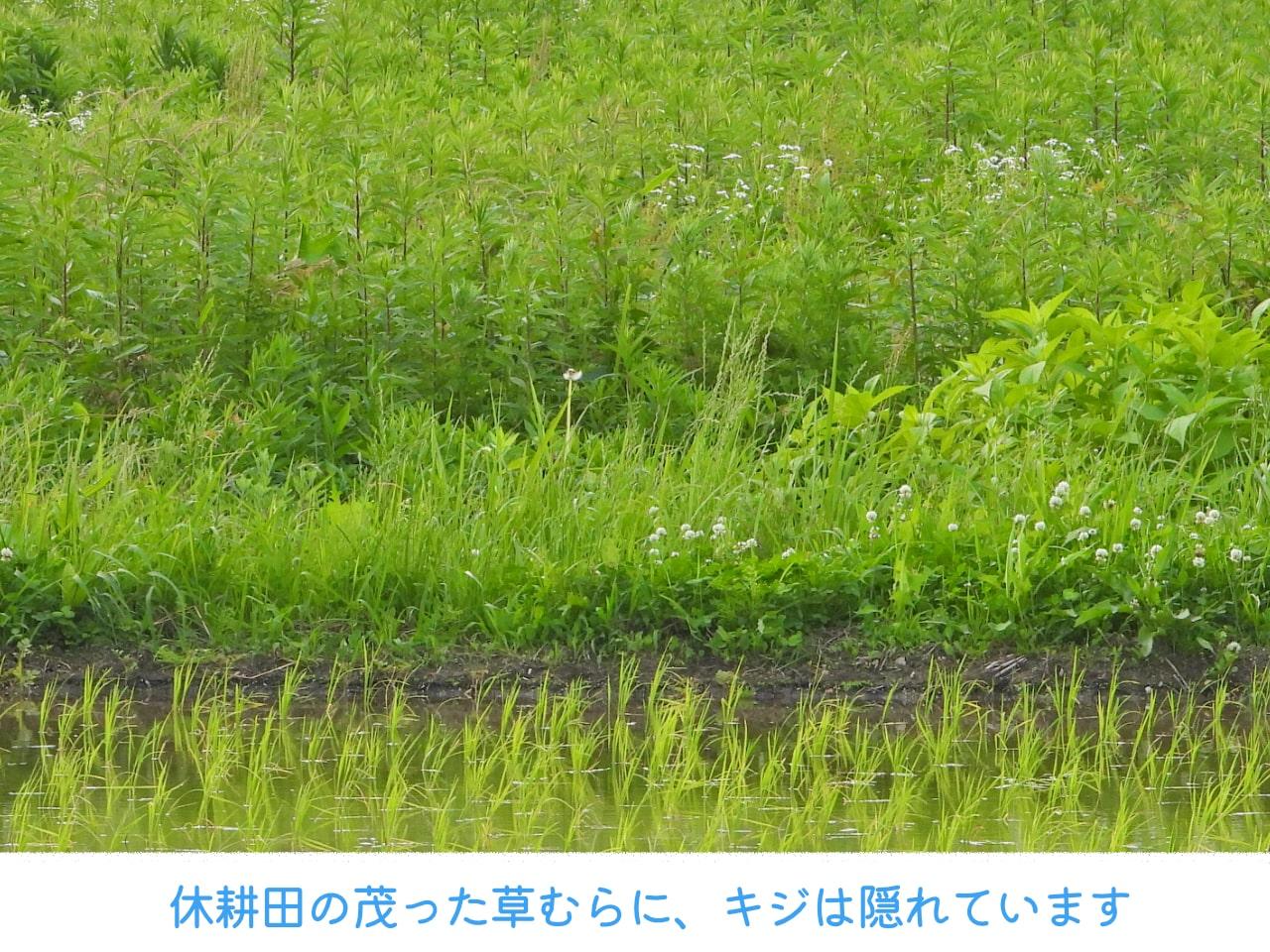 野生のキジが隠れている休耕田の草むら