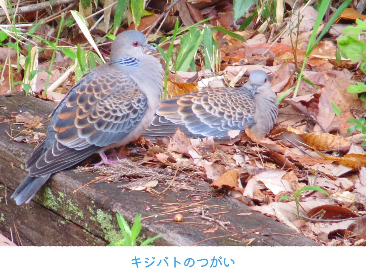 2羽でいるキジバトの画像
