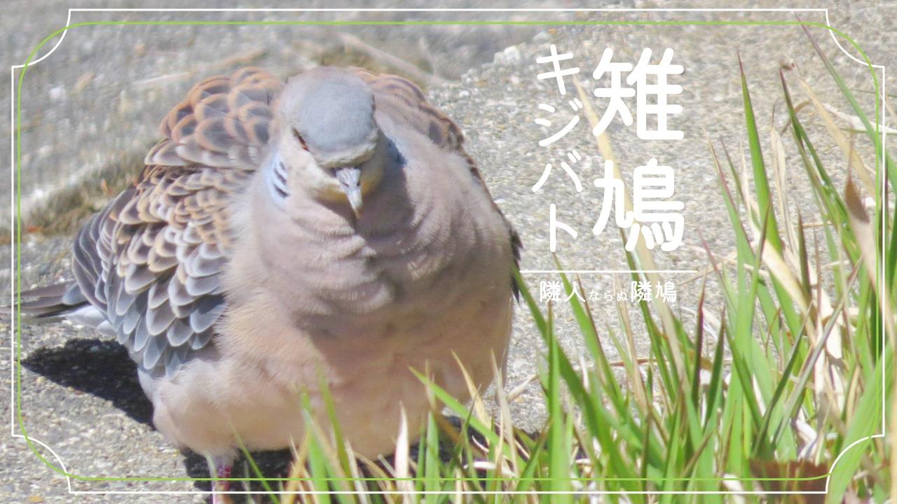 茶色の鳩「キジバト」についての情報をギュッとまとめました!